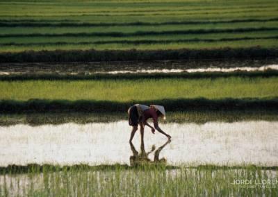 Cultivo de arroz, Hoian, Vietnam