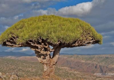 Árbol sangre de dragón, Wadi Derhur