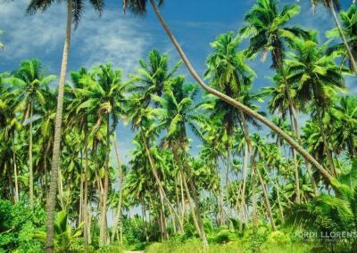 Palmeral, Aitutaki