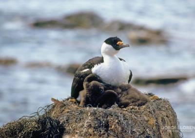 Cormorán antártico, Isla Petermann