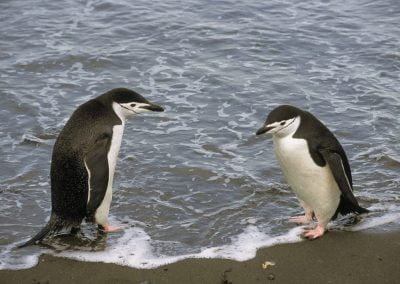 Pingüinos Barbijo, Isla Aitcho