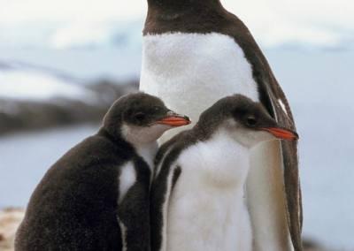Pingüino Papua con sus crías, Isla Aitcho
