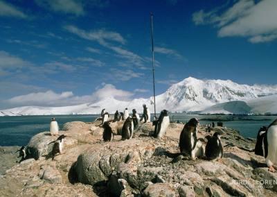 Pingüino Papua, Isla Petermann