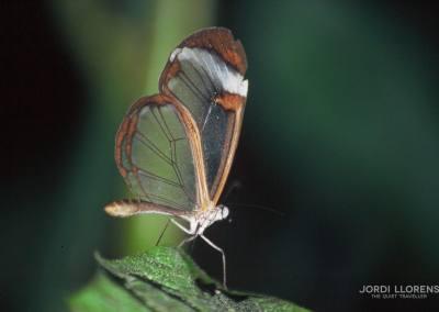 Mariposa, Santa Elena, Monteverde