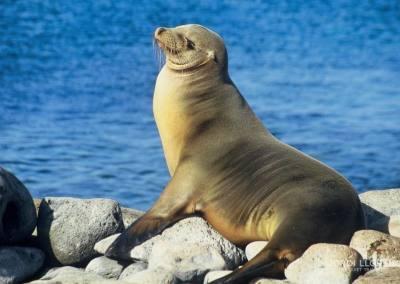 Lobo marino, Isla de Lobos, Galápagos