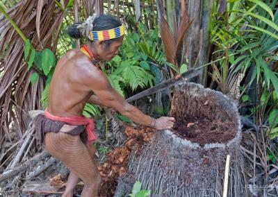 Buscando gusanos dentro del tronco de la palmera de sagú