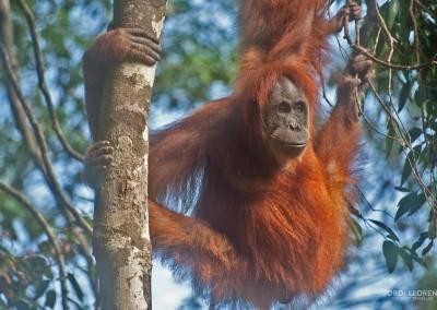 Los orangutanes de Bukit Lawang